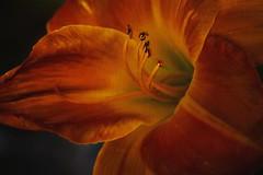 Autumn's Splendor (Christina's World Off and On) Tags: lily tigerlily orange bright colorful textures nature botany botanicalgarden garden macro flower