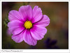 Cosmos Flower (Paul Simpson Photography) Tags: cosmos flower nature colourful colorful naturalworld photosof photoof petals imagesof imageof pinkflowers pinkflower horticulture october2017 autumn flowering flowerhead sonya77 sonyphotography paulsimpsonphotography garden gardenflowers flowergarden uk england flowersofengland