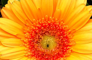 PERPIGNAN GERBERA FLOWER