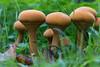 IMG_9187 (groeneschoenen1) Tags: goudhoed paddenstoel zeldzaam salland