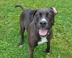 Maximillian (DDA1) Tags: saveapetilorg adoption adoptionshelter adoptioncenter adoptable adopt amstaff pitbullmix pitbull dog outdoor