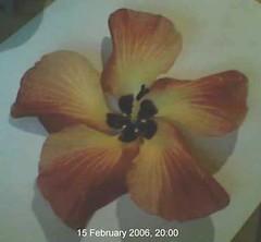 hibiscus.tiliaceus.flower.4 (dave.kimble) Tags: hibiscustiliaceus coastcottonwood cottonwoodhibiscus hibiscus malvaceae arfp nswrfp qrfp nfrfp lhrfp vrfp littoralarf riparianarf arfflowers maroonarfflowers
