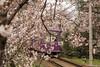 Tunel-Sakura-Kioto-Randen-26 (luisete) Tags: hanami japan randen túneldesakura tranvía tramway japón kioto kyoto
