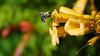 a Carpenter bee in flight (3/5) (Franck Zumella) Tags: bee charpentiere carpenter black yellow green noir jaune vert big gros insect insecte voler fly flying summer bokeh flight vol