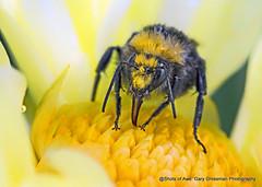 Last Drink of Summer (Gary Grossman) Tags: bumblebee bee macro garygrossmanphotography closeup flower dahlia bloom blossom raindrops drops waterdrops summershower rainshower shower rain nature pacificnorthwest willamettevalley canby oregon