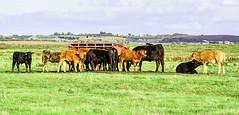 Elmley on Sheppey with young cattle 2 (philbarnes4) Tags: cattle grazing sheppey kent england philbarnes dslr farming elmleynationalnaturereserve bovine nikond5500