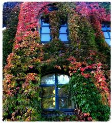 Brobjerg school (Jaedde & Sis) Tags: brobjergskolen aarhus vine leaves autumn building window challengeyouwinner 15challengeswinner pregamewinner
