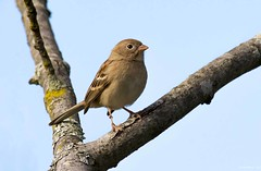 Field Sparrow (swmartz) Tags: outdoors october wildlife nikon nature newjersey sparrow birds bird mercercounty polefarm