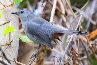 gray  catbird at Cardinal Marsh IA 854A7156