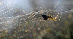 Linyphiidae in the light (conall..) Tags: gorse spider linyphiidae light arachtober