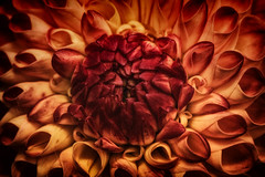 In der Mitte liegt der Kern (Fotos4RR) Tags: dahlie dahlien georginen blume flower blüte pflanze plant dahliahybride mskennedy pompondahlie