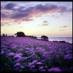 Purple Sunrise - Ektachrome 100 exp* (magnus.joensson) Tags: sweden skåne abbekås autumn sunrise september rolleiflex 35 zeiss tessar 75mm kodak ektachrome 100 exp 2005 c41 6x6 medium format purple flowers