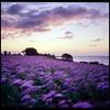 Purple Sunrise - Ektachrome 100 exp* (magnus.joensson) Tags: sweden skåne abbekås autumn sunrise september rolleiflex 35 zeiss tessar 75mm kodak ektachrome 100 exp 2005 c41 6x6 medium format purple flowers