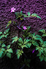 Death-Come-Quickly (Chancelrie) Tags: outdoor plants leaves foliage spring may may2017 pnw pacificnorthwest vancouver bc britishcolumbia flower flowers blossom blossoms