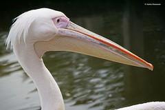 Pelican (Ineke Klaassen) Tags: zoo bird birds pelican pelikaan dierentuin ouwehands snavel beak dierenpark dieren dier dierenfotografie dierenfoto animal animals sony sonyimages sonya6000 sonyalpha sonyalpha6000 sonyilce6000 ilce mirrorless rhenen sonyflickraward 30faves 30favs 1750views