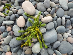 Sea Sandwort (The3Winds) Tags: flora sandwort shingle