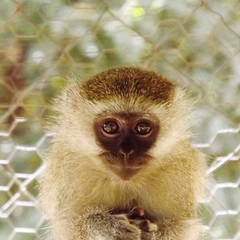 "Vervet Monkey • <a style=""font-size:0.8em;"" href=""http://www.flickr.com/photos/152934089@N02/37566243746/"" target=""_blank"">View on Flickr</a>"