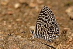 Leptotes plinius - the Zebra Blue (BugsAlive) Tags: butterfly butterflies mariposa papillon farfalla schmetterling бабочка conbướm ผีเสื้อ animal outdoor insects insect lepidoptera macro nature lycaenidae leptotesplinius zebrablue polyommatinae wildlife lamnamkoknp chiangrai liveinsects thailand ผีเสื้อฟ้าลาย