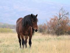 Bosnia and Herzegovina (Amir Guso) Tags: canon 70d eos horse pferd animal wildlife outdoor nature natur livno bosnia bih tier feld autumn herbst