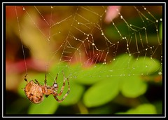 """""""No Catch For the Day...??? No Worries - I Just Munch On My Own Bloomin' Web...!!!"""" :-) (NikonShutterBug1) Tags: macro closeup nikond7100 tokina100mm spider insects entomology nature wildlife spe smartphotoeditor arachnology araneology arachtober gardenspider orbweaver web webeating raindrops waterdroplets beautifulbugbuttthursday"""