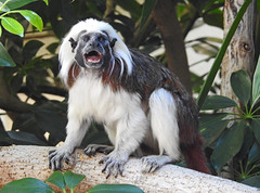 Saguim-cabeça-de-algodão / Cotton-top tamarin (Saguinus oedipus) (Marina CRibeiro) Tags: portugal lisbon lisboa zoo primata primate tamarin saguim saguimcabeçadealgodão cottontoptamarin