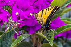 Mariposa (ruifo) Tags: nikon d810 nikond810 nikor afs 200500mm f56e ed vr nikorafs200500mmf56eedvr mexico city ciudad méxico df cdmx borboleta butterfly mapiropsa life vida nature naturaleza natureza color colour colorful colorido colores animal