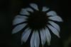 echinacea (magnus) in the evening (Tuva_Morau) Tags: flower white rudbeckia echinacea garden night