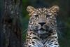 Grünauge (Mel.Rick) Tags: pantherapardusjaponensis tiere natur säugetiere raubtiere raubkatzen groskatzen leopard nordchinesischerleopard tierparkhagenbeck zoo