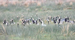 Barnacle geese with leucistic bird