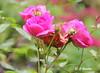 REFORD GARDENS |  SHRUB ROSE |  ROSIER ARBUSTIF  |  ROSA MORDEN CENTENNIAL |   REFORD GARDENS  |  JARDINS DE METIS  |  GASPESIE  |  QUEBEC |  CANADA (C. C. Gosselin) Tags: reford gardens | shrub rose rosier arbustif rosa morden centennial jardins de metis gaspesie quebec canada the last summer canon7dmarkii canon 7dmarkii 7d markii mark ii canoneosrebelt2i canoneos7d canon7d eos7d canoneos eos rebel t2i ph:camera=canon