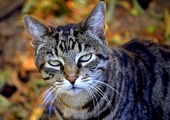 Every day is a grouchy day (mariposa lily) Tags: cat cats kitty kitties feline grumpy angry nikon nikond3300 d3300 fallcolors grouchy grouchycat grouchycats cattitude attitude autumncolors felines catitude