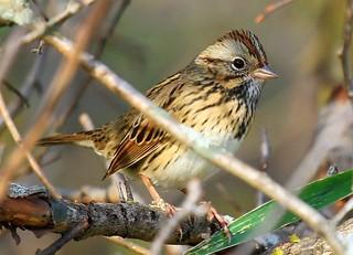 Lincoln's sparrow at Chipera Prairie IA 854A0031