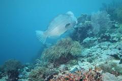 Napoleon Bumphead Wrasse in Raja Ampat (sarah.handebeaux) Tags: bumphead wrasse big fish raja ampat indonesia diving mayhem