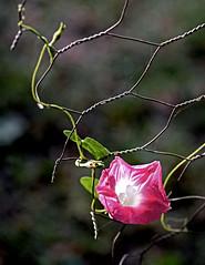 Opportunist (mariposa lily) Tags: morningglory morningglories flower flowers bloom blooms blossom blossoms vine vines nikon nikond3300 d3300 pink pinkflower pinkflowers garden gardening