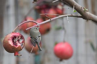 Hutton's vireo and my pomegranates.