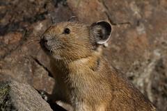 Pika (markvcr) Tags: pika wildlife rabbit nature