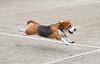 Cooper the Beagle (Nikcanlove1) Tags: beagle hound nikon d850 pasig philippines tennis court lens 24120mm