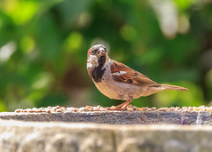 House Sparrow (microwyred) Tags: housesparrow ndevon sitting beak events nature birds sparrow places beautyinnature oneanimal holiday animal small birdwatching feather animalsinthewild wildlife red bird brown closeup outdoors bucklandbrewer abstracts perching animalwing