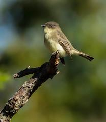 Eastern Phoebe (Sayomis phoebe) (johnny4eyes1) Tags: woodland wertheimnationalwildliferefuge phoebe wildlife nature birds bokeh flycatcher forest autumn