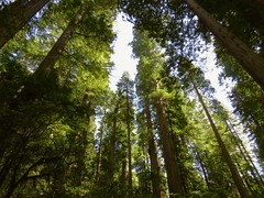 Redwoods in Repose (EPCOT Explorer) Tags: redwood findyourpark redwoodnationalpark redwoodnp rnp redwoods california pnw pacificnorthwest goparks nps100 sharetheexperience nationalpark nationalparks nationalparkgeek rockthepark rtp100 the59parks usinterior adventurevisuals inspiredbyadventure experienceyouramerica photosofthenationalparks nationalparklife americasbestidea naturephotousa hikingdaily protectpubliclands natparkexplorer goexplr