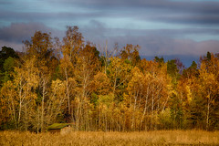 Cabin & Trees (Topolino70) Tags: canon600d cabin forest tree fall autumn ruska syksy colors yellow red reed sky blue swinösund espoo finland