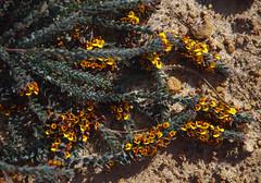 Aotus sp Diffusa, Toolibin, east of Narrogin, WA, 15/09/17 (Russell Cumming) Tags: plant aotus aotusspdiffusa fabaceae toolibin narrogin westernaustralia