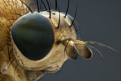 Mosca. Lauxaniidae (dorolpi) Tags: