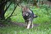 in Eile (Mel.Rick) Tags: natur tiere zoo wildpark säugetiere raubtiere wolf grauwolf wildparklüneburgerheide kolja animal nature