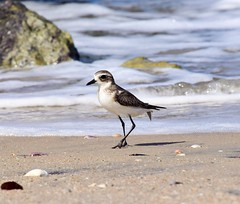 Lesser Sandplover (sreejithkallethu) Tags: lessersandplover sandplover birds birdsofkerala nature naturephotography birdsofvellanathuruth vellanathuruth kollam kerala