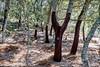 6 (Heinrich Plum) Tags: heinrichplum plum fuji xe2 xf1855mm korkeiche quercussuber corkoak portugal algarve monchique hiking serrademonchique wandern