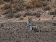 PA042553 Leopard (Joanna P Dale) Tags: kgalagaditransfrontierpark matamata olympus omdem1mkii panasonic100400 africanleopard leopard
