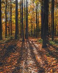 autumn tree shadows (-liyen-) Tags: aaw activeassignmentweekly autumn woods trees forest shadows trunks colours fujixt1 bestofweek1 bestofweek2 bestofweek3