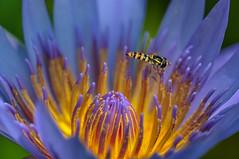 Hey..... Honey ! (pramuditalina) Tags: nature insect bee macro nikond90 light lightroom5