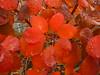 Scharlachrotes Laub (Jörg Paul Kaspari) Tags: trier trierwest bobinet bobinetquartier herbst autumn fall herbstfärbung cotinus´royalpurple´rotlaubigerperückenstrauchautumn color rot red rouge vorplatz scharlachrot